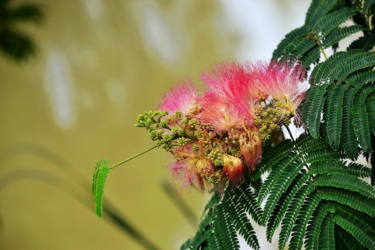 合欢树苗丨金叶合欢丨合欢苗木丨子轩供