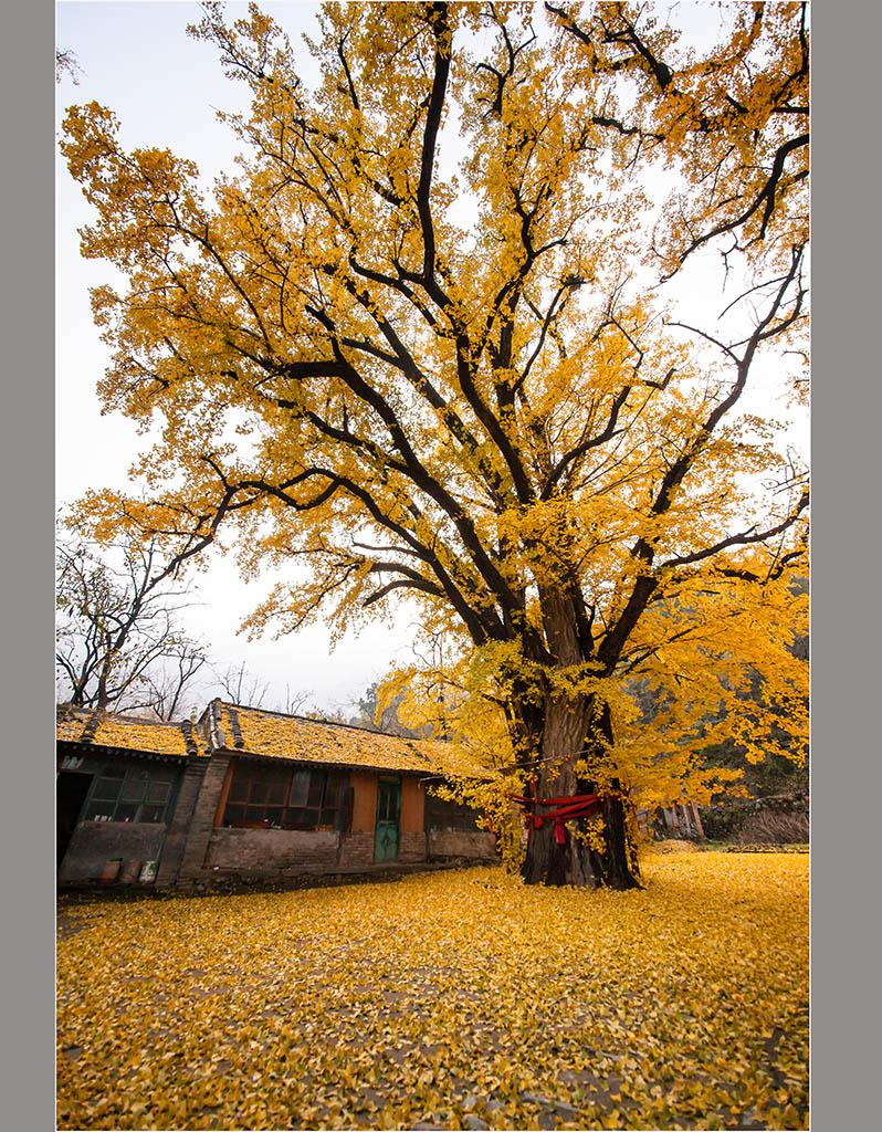 园林绿化中的银杏树如江苏,邳州,郯城等地.