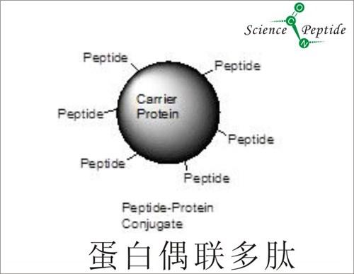 KLH偶联多肽