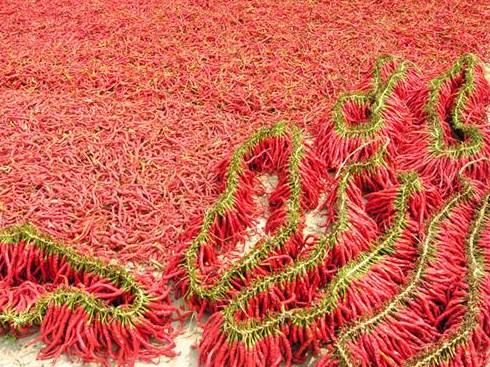 山东辣椒市场