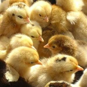 福建鸡苗孵化