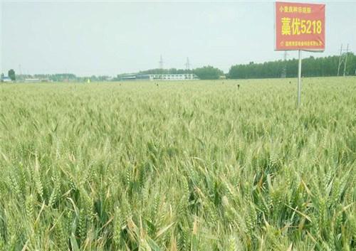 哈尔滨小麦种子采购