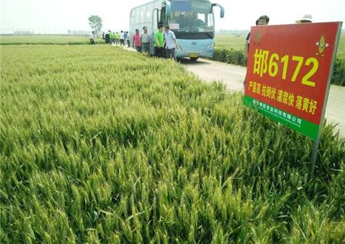 哈尔滨小麦良种批发