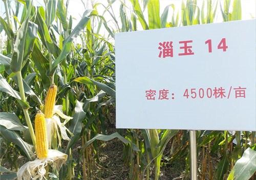 南京玉米种子商家