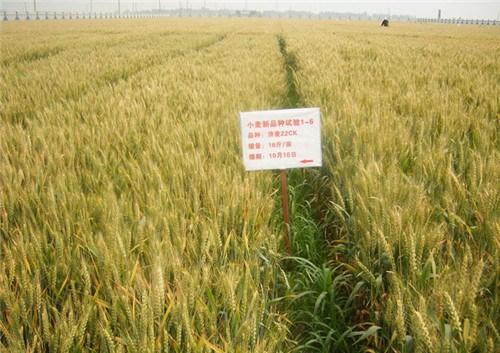 高产小麦种厂家