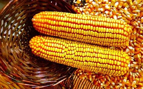 济南抗病玉米种子品牌选购