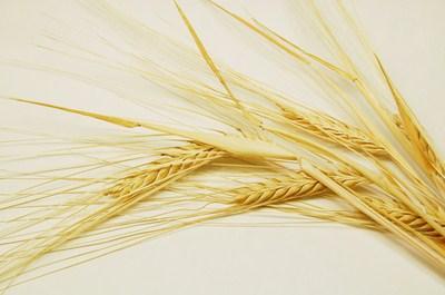 优质小麦种子分类查询