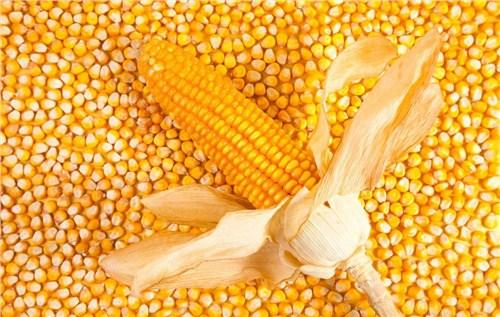 优质玉米种子品牌销量