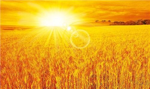山东优质小麦种子特点