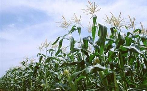 济南优质玉米种子厂家电话