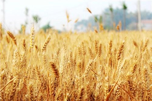 济宁抗病小麦种子品牌排名