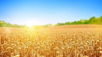 济宁高端小麦种子厂家