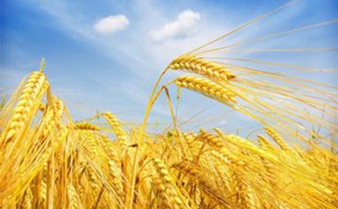 河北小麦种子代理价格