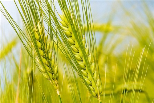 小麦种子厂家口碑排名