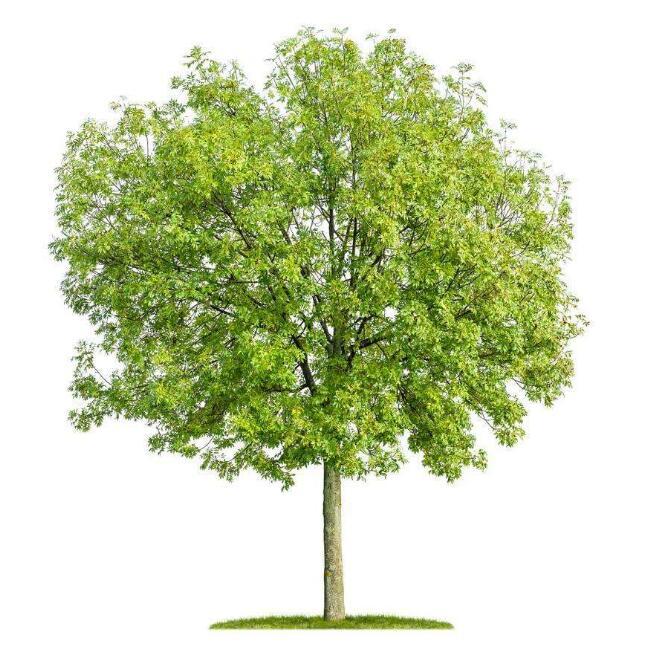 焦作白蜡推荐,白蜡,安阳白蜡种植,速生白蜡种植,洛阳小区园林绿化哪家好,新乡低价垂柳价格