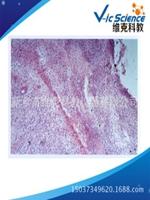 四川库存组胚病理切片,组胚病理切片