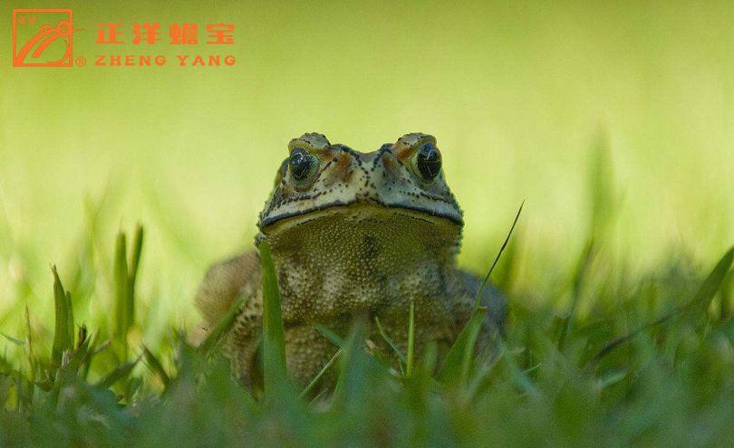 通州区蟾蜍繁殖合作社「正洋蟾宝供应」