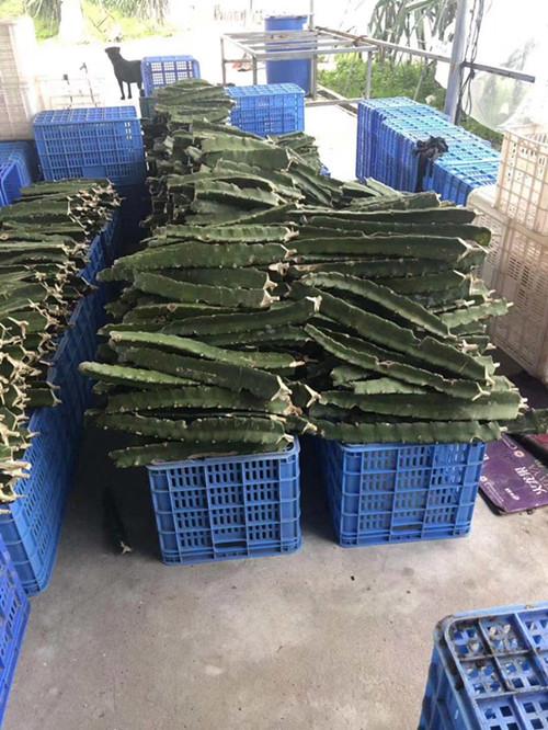 黄色火龙果幼苗嫁接技术 厦门耕泓农业科技供应