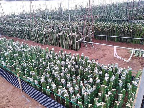 黃皮火龍果種苗批發商