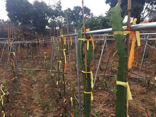 燕窝果种植技术 厦门耕泓农业科技供应