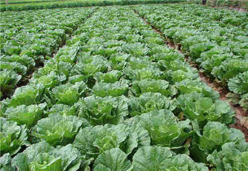 相城区有机蔬菜供应厂家