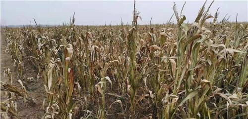 徐州玉米秸秆收购