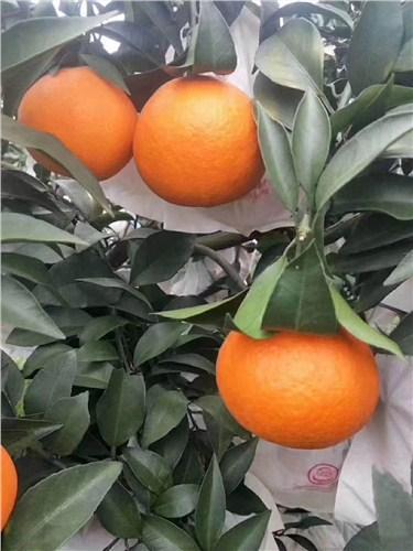 爱媛38号果粒橙