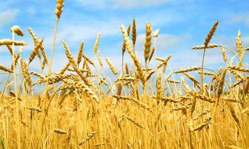 小麦吸浆虫