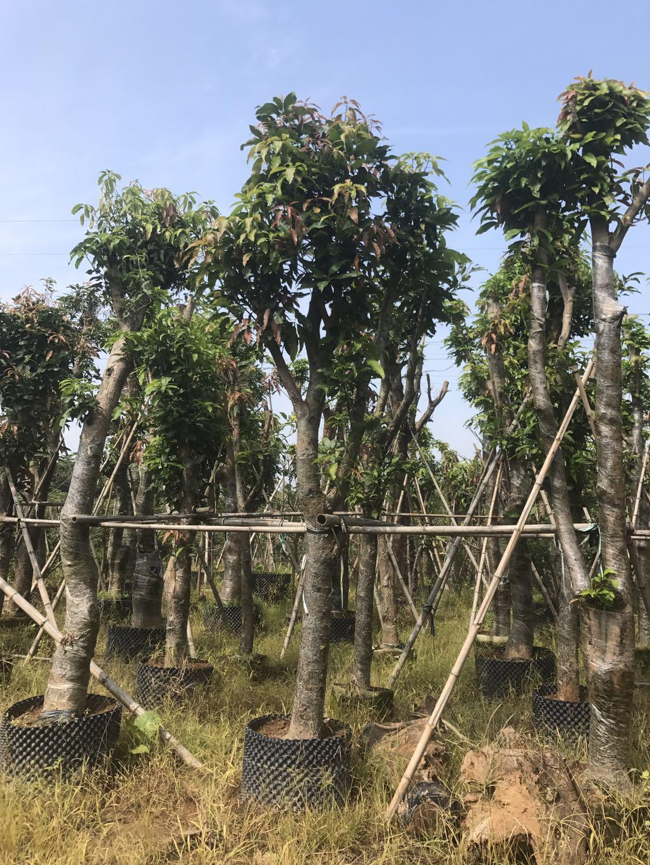芒果树2.jpg