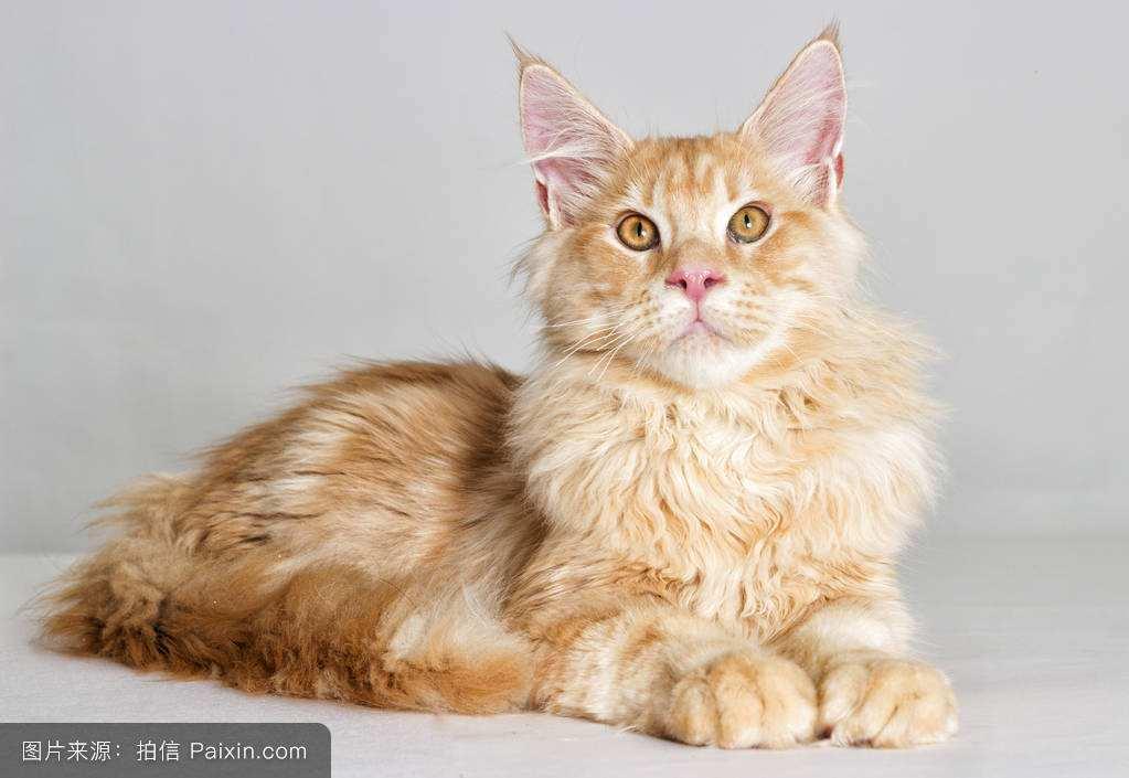 缅因猫销售 上海缅因猫销售 缅因猫销售价格 小可爱猫