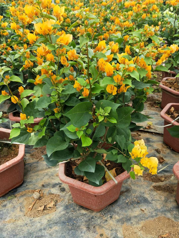 柠檬黄三角梅工程苗高度70公分冠幅40公分.jpg
