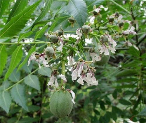 山东文冠果种植