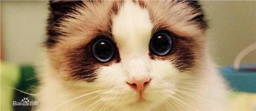 布偶猫猫舍 布偶猫 上海布偶猫 小可爱猫舍供