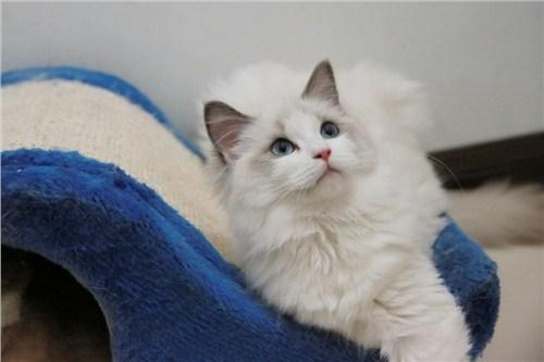 布偶猫 布偶猫出售 上海布偶猫 小可爱猫舍供