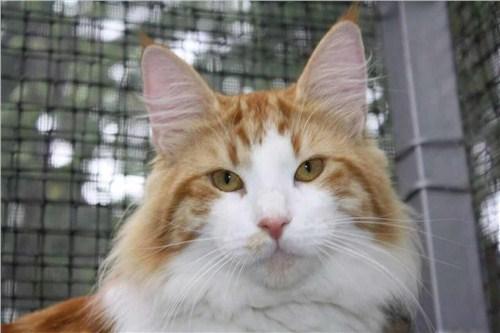 上海挪威森林猫-小可爱猫舍供-挪威森林猫猫舍