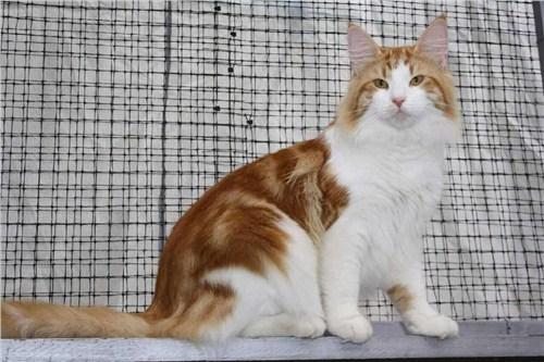 挪威森林猫 挪威森林猫销售 上海挪威森林猫销售 小可爱猫舍供
