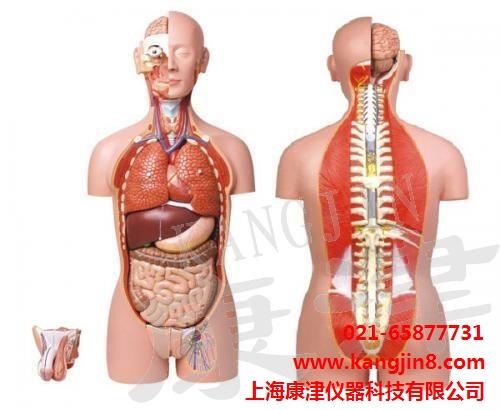 男、女两性人体背部开放式躯干模型
