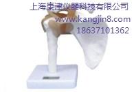 肩关节功能解剖模型