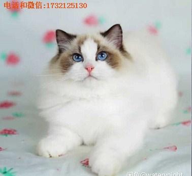 高品质布偶猫-小可爱猫舍供-布偶猫价格