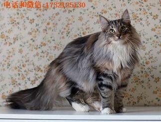 上海挪威森林猫-小可爱猫舍供-挪威森林猫价格