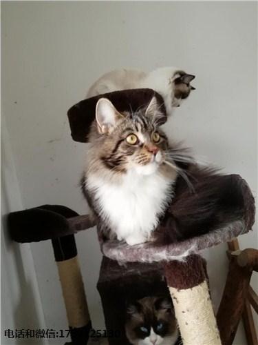 缅因猫生病表现 缅因猫常见病 缅因猫 小可爱猫舍供