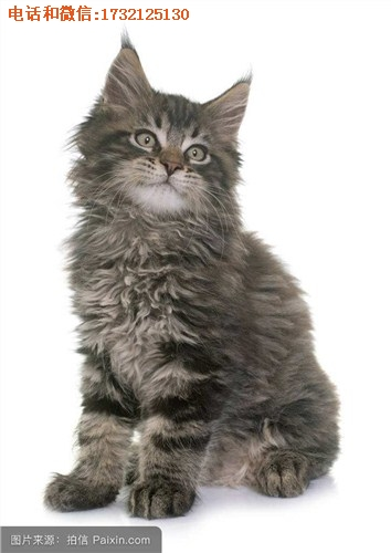 销售上海嘉定缅因猫多少钱小可爱猫舍供