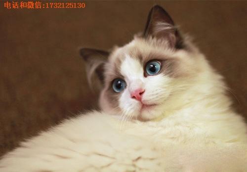 供应浙江布偶猫厂家直销小可爱猫舍供-正规猫舍