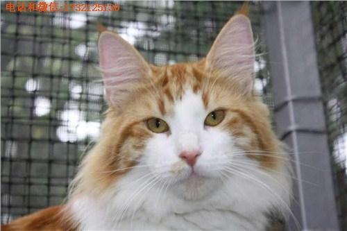 供应上海挪威森林猫批发小可爱猫舍供-专业挪威森林猫舍