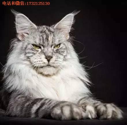 供应上海缅因猫猫舍多少钱小可爱猫舍供