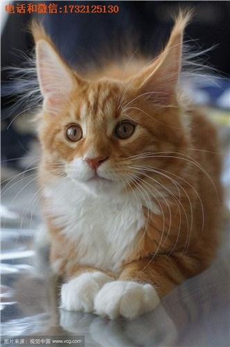 上海缅因猫