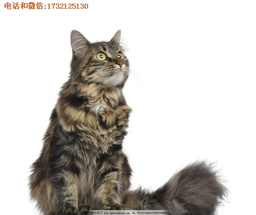提供-上海-纯种缅因猫-直销-小可爱猫舍供